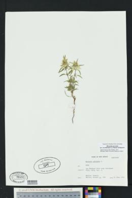 Monarda punctata var. occidentalis image