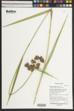Scirpus pallidus image