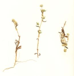 Image of Cryptantha echinella