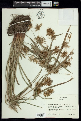 Image of Cyperus panamensis