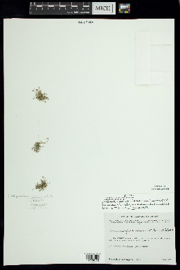 Eleocharis cancellata image