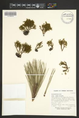 Image of Arceuthobium pini