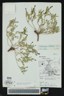 Acleisanthes diffusa image