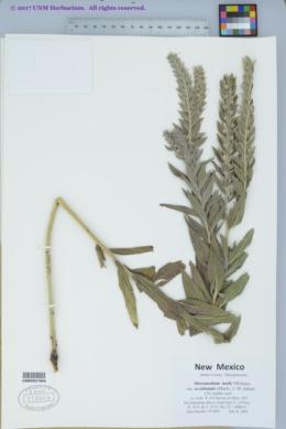 Onosmodium molle var. occidentale image