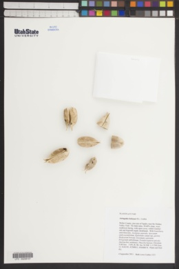 Astragalus kelseyae image