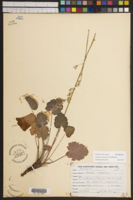 Image of Heuchera novamexicana