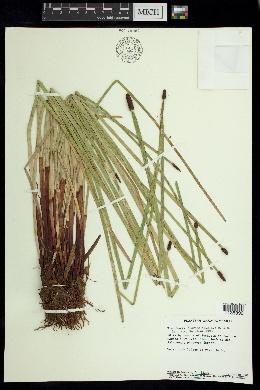 Eleocharis elegans image