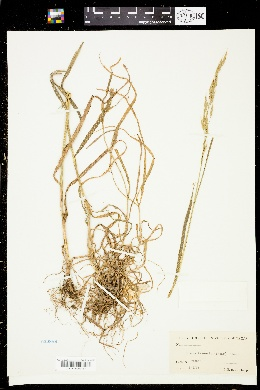 Image of Bromus texensis