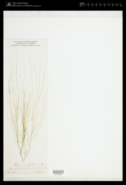 Image of Halymenia filiformis