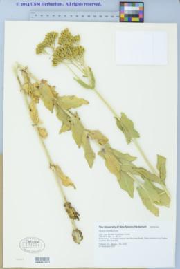 Flaveria chlorifolia image