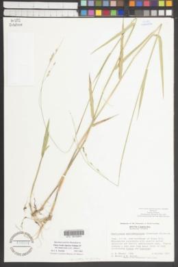 Amphicarpum muhlenbergianum image