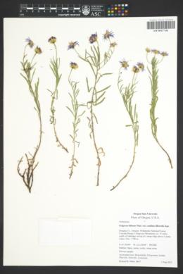 Erigeron foliosus var. confinis image
