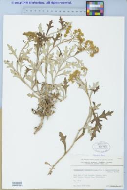 Eriophyllum stoechadifolium image
