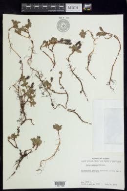 Salix polaris image