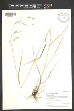 Bromus mucroglumis image
