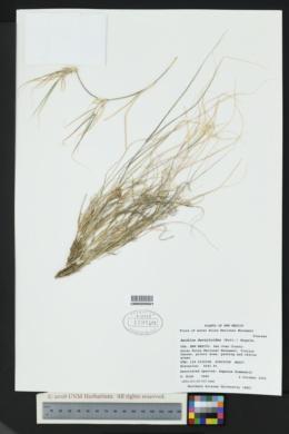 Buchloe dactyloides image