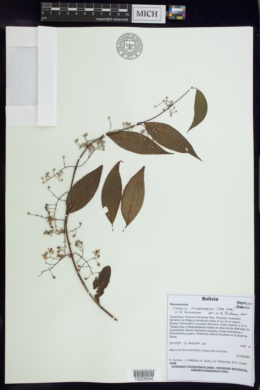 Image of Carolus chlorocarpus