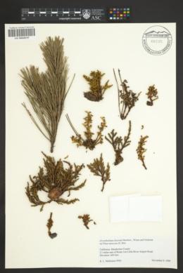 Arceuthobium littorum image