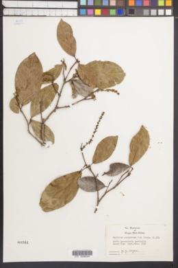 Image of Mallotus polyadenos