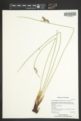 Juncus balticus subsp. ater image