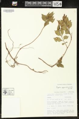 Cuphea appendiculata image