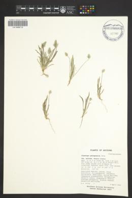 Plantago patagonica image