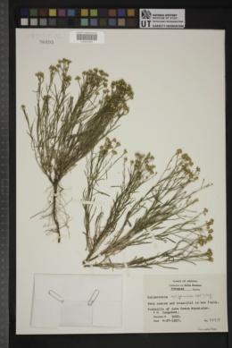 Gutierrezia californica image
