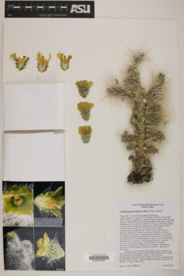 Cylindropuntia multigeniculata image