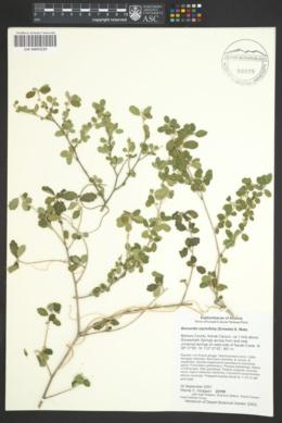 Bernardia myricifolia image