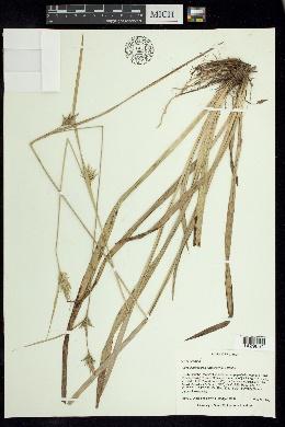 Carex lonchocarpa image