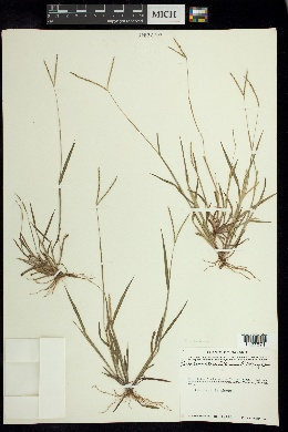 Image of Paspalum clavuliferum