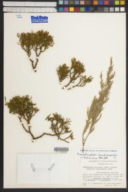 Phoradendron hawksworthii image
