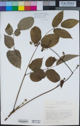 Aralia californica image