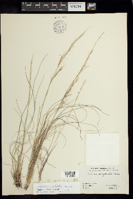 Image of Aristida curvifolia