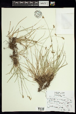 Image of Carex peucophila