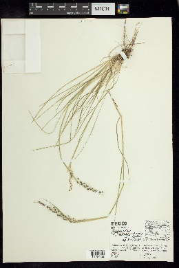 Piptochaetium brevicalyx image