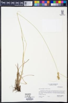 Image of Carex arkansana