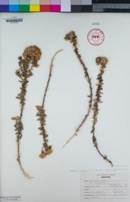 Isocoma menziesii image
