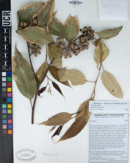 Eucalyptus robusta image