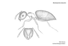 Brachymyrmex obscurior image