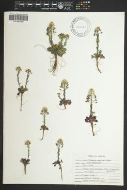 Noccaea fendleri subsp. fendleri image