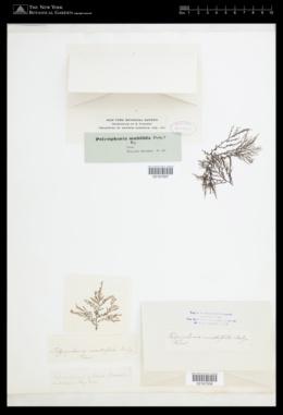 Image of Polysiphonia multifida