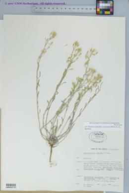 Physaria valida image