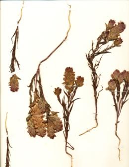 Image of Orthocarpus copelandi