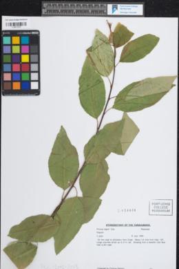 Image of Prunus capuli