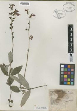 Image of Salvia nigriflora