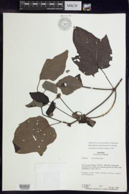 Stigmaphyllon dichotomum image