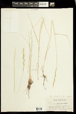 Elymus lanceolatus subsp. riparius image
