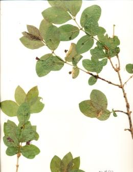 Image of Lonicera conjugialis
