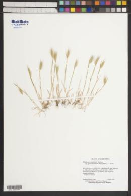 Hordeum marinum subsp. gussoneanum image